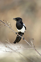 American Magpie (Pica Hudsonia), perched on a branch, Inglewood Bird Sanctuary, Calgary, Alberta, Canada                         Photo: Peter Llewellyn