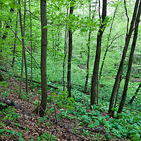 The trees and undergrowth in an eastern North American deciduous forest in early spring.