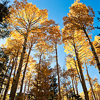 A view into the sky with golden leaves from changing Aspen trees.  Northern Arizona.