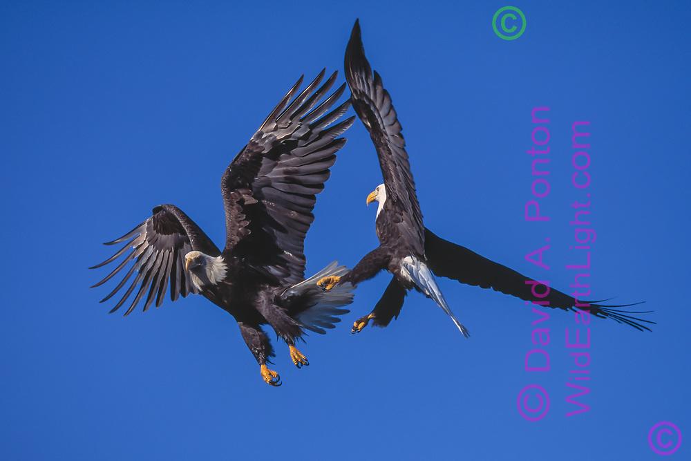 Adult bald eagle (R) agressively intercepting 4th year juvenile in flight, Alaska, © 2000 David A. Ponton