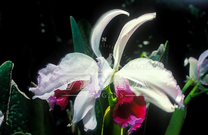 "Orquídea ""Laelia Purpurata"", simbolo de Santa Catarina, Rio Vermelho, Florianópolis, Santa Catarina, Brasil. foto de Ze Paiva/Vista Imagens"
