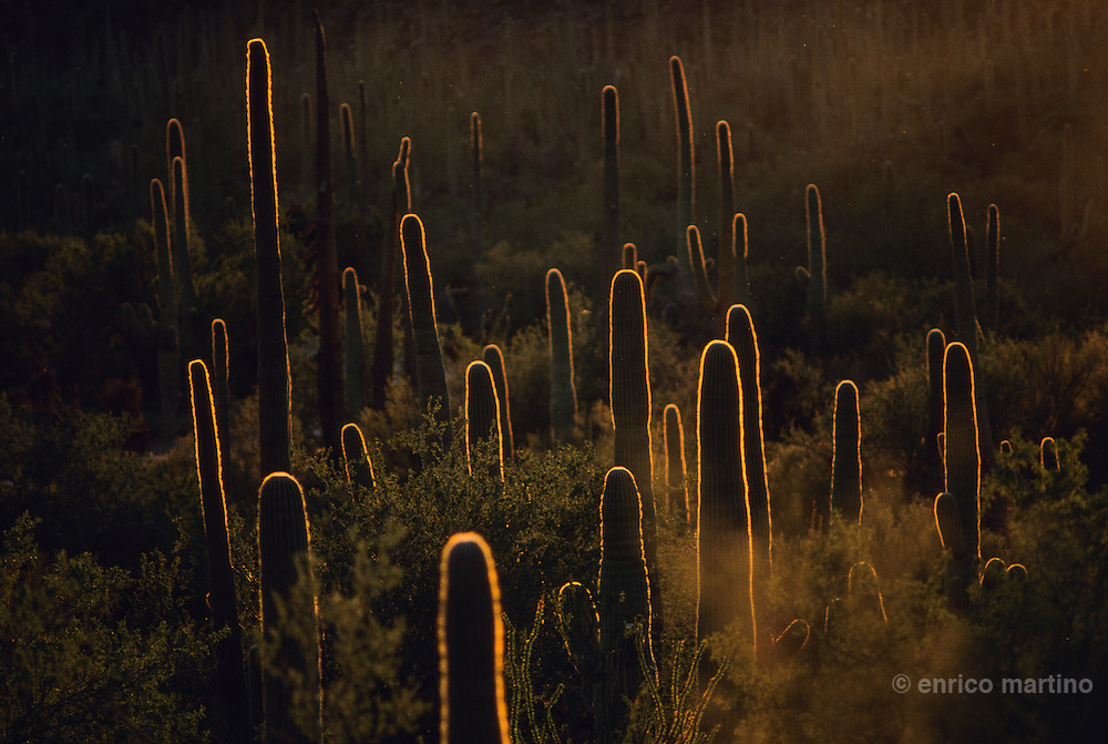Tucson, National Saguaro Park. Saguaro cactus grows slowly and they  are almost a hundred years old before they take on their typical many-armed appearance.