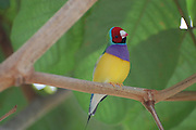 This is a photograph of a Gouldian Finch.