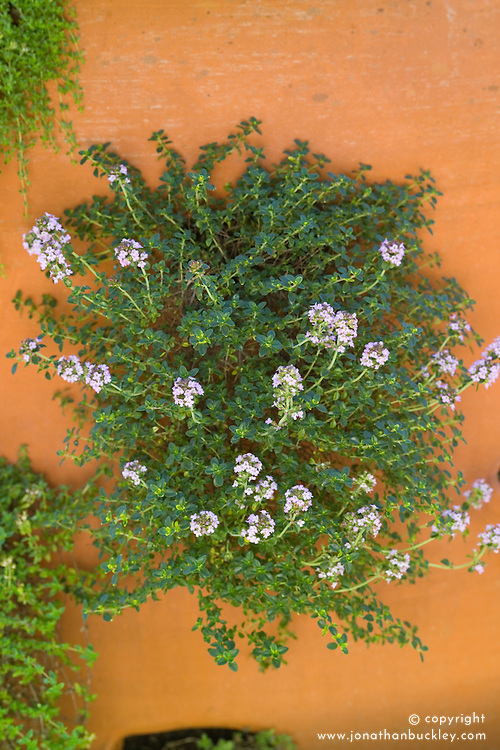 Thyme growing in a terracotta urn
