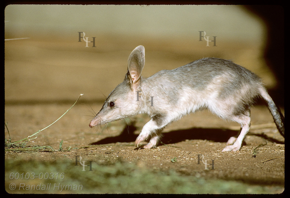 Rabbit-eared bandicoot, or bilby, walks cautiously in its pen at Conservation Commssn of NT/Alice Australia