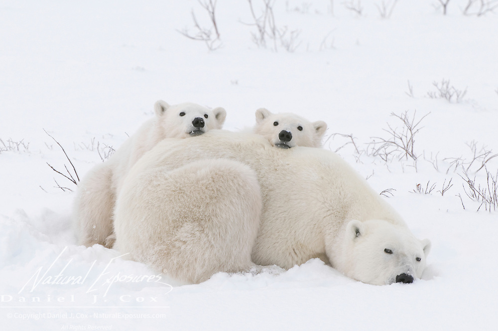 Polar Bear mother and cubs. Hudson Bay, Manitoba, Canada