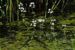 Waterviolier, Hottonia palustris