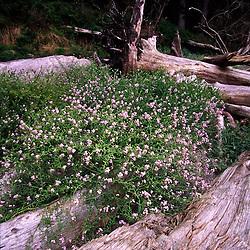 Beach Wildflowers on Driftwood near Sand Point, Olympic National Park, Washington, US