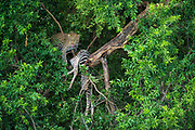 Leopard  (Panthera pardus) with zebra carcass in tree<br /> Marataba, A section of the Marakele National Park, Waterberg Biosphere Reserve<br /> SOUTH AFRICA<br /> RANGE: Throughout Sub-Saharan Africa except interior of South Africa. Also in Asia.Leopard
