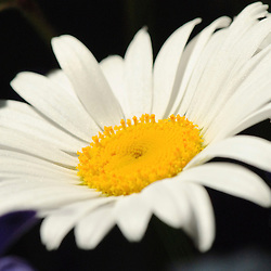 Margriet, Oxeye daisy, Leucanthemum vulgare