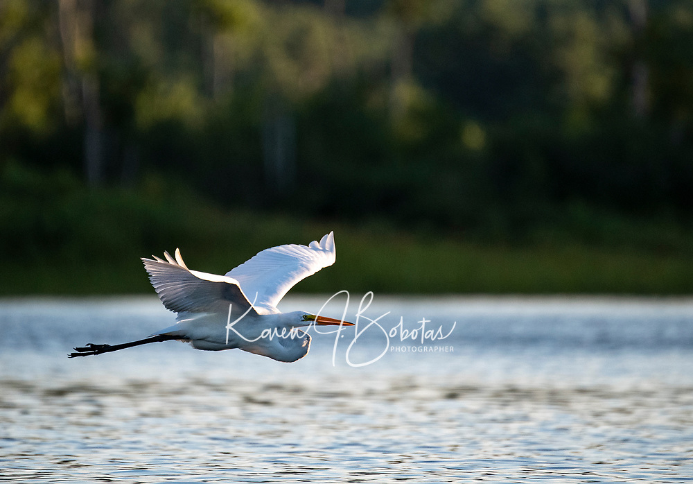 Lake life in New Hampshire.  Great Egret and Blue Heron in their natural habitat.  ©2020 Karen Bobotas Photographer