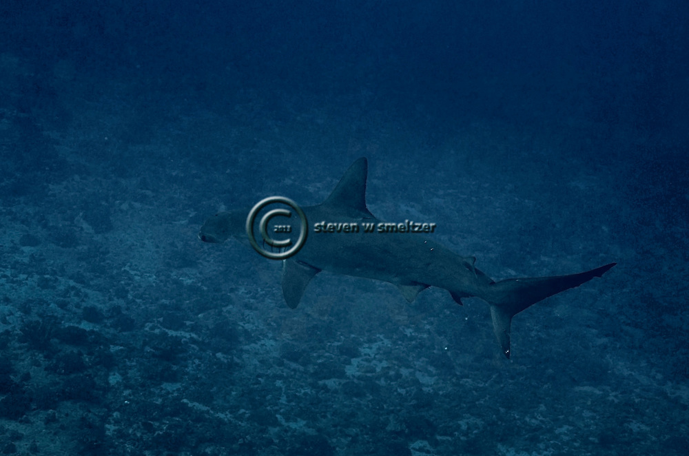 Scalloped Hammerhead Shark, Molokai Hawaii