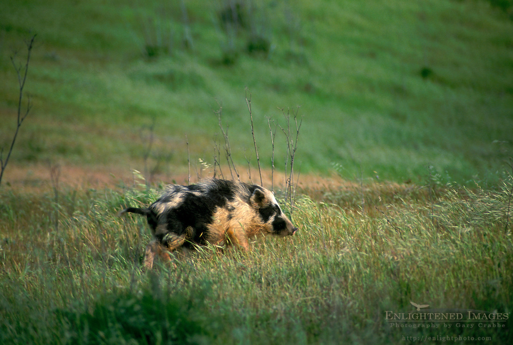Feral non-native wild boar pig (Sus scrofa) running through green spring grass, Santa Cruz Island, Channel Islands, California