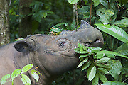 Sumatran Rhinoceros <br /> Dicerorhinus sumatrensis<br /> Eating vegetation<br /> Sumatran Rhino Sanctuary, Way Kambas National Park, Indonesia<br /> *Critically Endangered<br /> *Captive