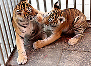 HUANGSHAN, CHINA - OCTOBER 16: (CHINA OUT) <br /> <br /> Baby Siberian Tigers <br /> <br /> Nine baby Siberian tigers are seen at Mount Huangshan Tiger Park on October 16, 2014 in Huangshan, Anhui province of China. Three Siberian female tigers gave birth to nine baby Siberian tigers in August and the nine baby tigers have past their two months at Huangshan Mountain Tiger Park. Forty Siberian tigers at Mount Huangshan Tiger Park were brought from China's northeast Heilongjiang provinve in April, 2010<br /> ©Exclusivepix
