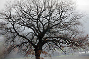 fog and large oak tree