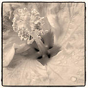 Nectar Sepia