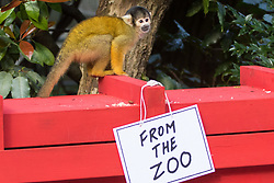 London, March 30th 2017. ZSL London Zoo's troop of squirrel monkeys (Samiri boliviensis) celebrate the 35th anniversary of Rod Campbell's children's book, Dear Zoo, with their very own puzzle box,  custom-made in the style of the book's recognisable red crate.