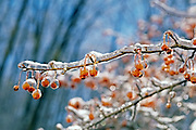 branch with orange berries encased in ice; cold; winter