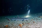 divers approach whitetip reef shark, Triaenodon obesus, resting inside of cavern, Gato Island, off Malapascua, Cebu, Philippines  ( Visayan Sea, Western Pacific Ocean )