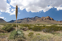 Mount Franklin State Park, with sotol,  in El Paso is the largest urban park in Texas.