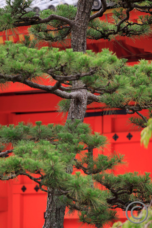 Elaborately sculpted pine trees in the grounds of the Sanjuusangendo Temple in Kyoto, Japan.