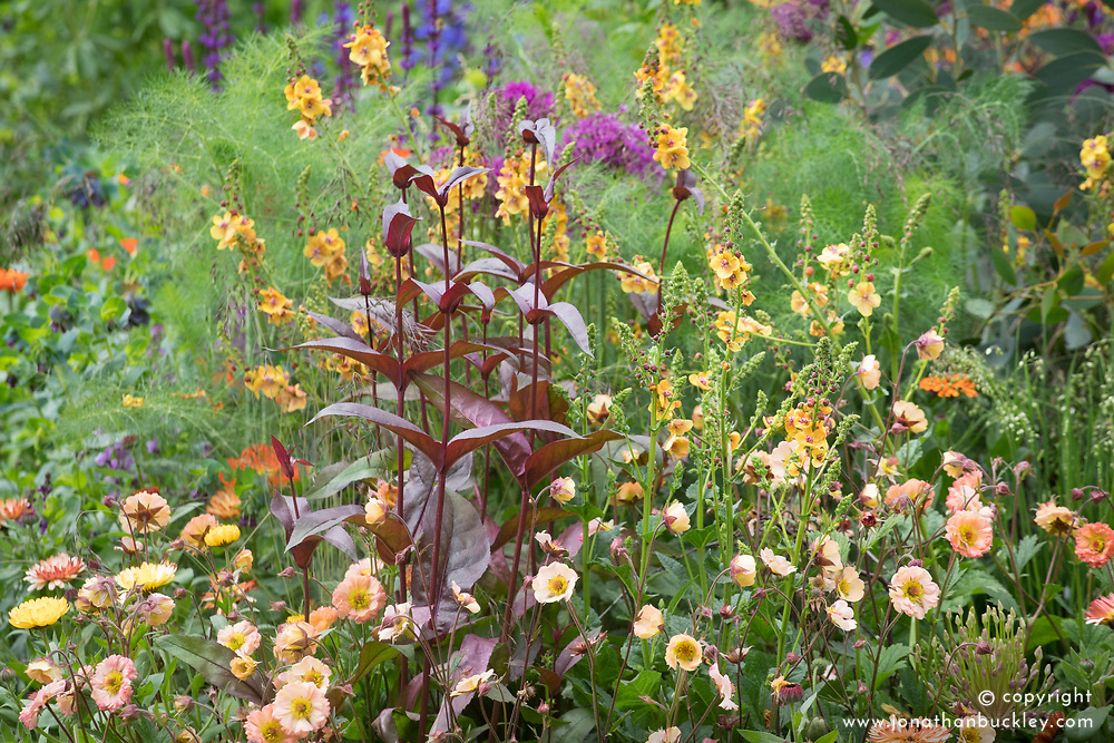 Verbascum 'Clementine' with Geum 'Mai Tai'  and the foliage of Penstemon 'Husker Red'.