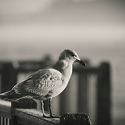 Black and white of seagull looking out over Foss Waterway - Tacoma, WA