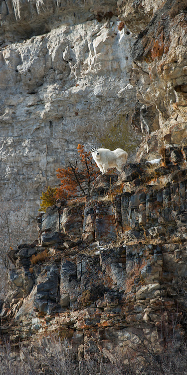 Lone Mountain Goat standing on a rocky ledge in the Snake River Canyon near Jackson Hole, WY.