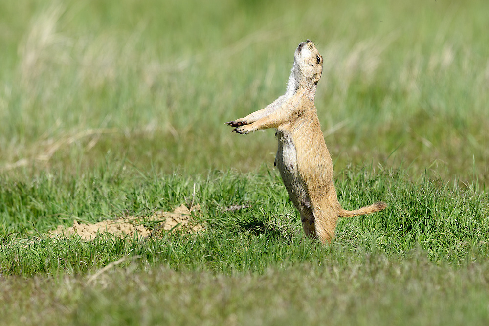 Black Tailed Prairie Dog jump-yip display at Lagerman Reservoir in Longmont, Colorado.