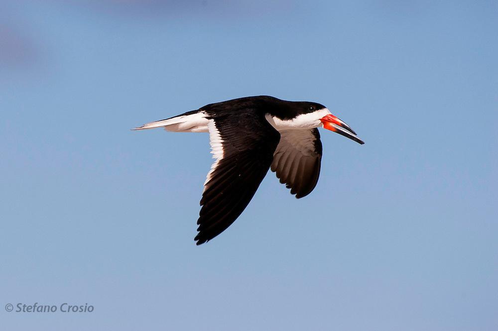 USA, Jamaica Bay (NY).?Black skimmer (Rynchops niger) in flight