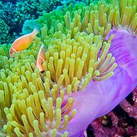 Alberto Carrera, Pink Anemonefish, Amphiprion perideraion, Magnificent Sea anemone, Ritteri anemone, Heteractis magnifica, Bunaken National Marine Park, Bunaken, North Sulawesi, Indonesia, Asia