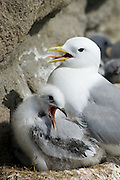 In North America, this species is known as the Black-legged Kittiwake  in order to differentiate it from the Red-legged Kittiwake, but in Europe, where it is the only member of the genus, it is often known just as Kittiwake.
