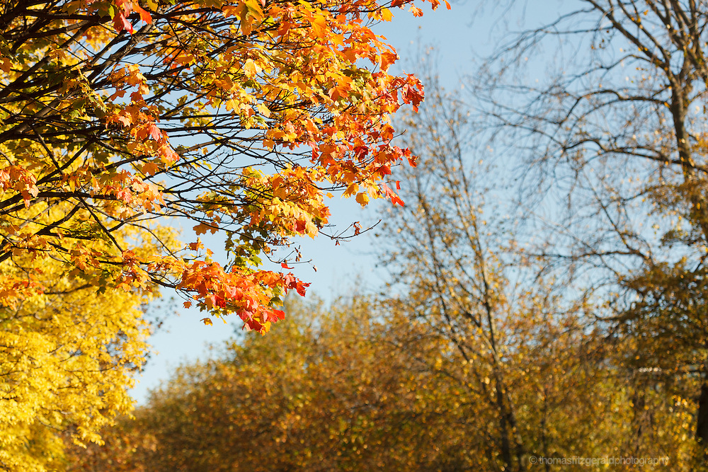 Autumn in Ireland, 2012: The warm Autumn Sunshines of the moulticoloured leaves on a tree surrounded by the yellow and brown leaves of other autumn trees. The rich red and yellow colours contrast with the more muted colours of the surrounding trees