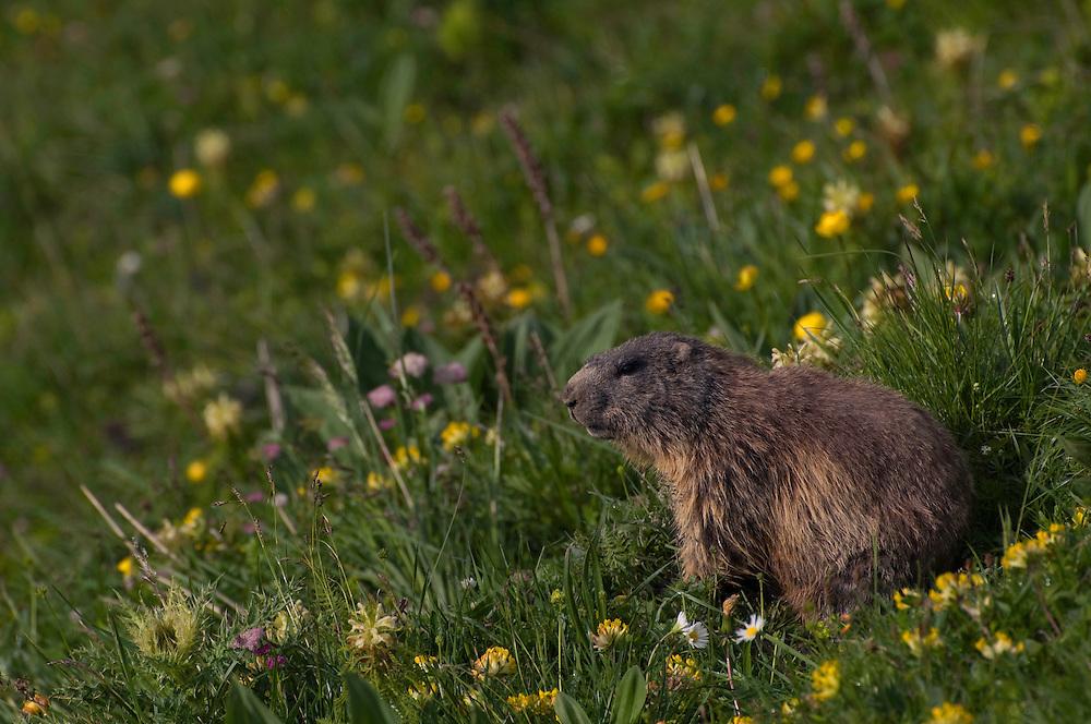 Alpine marmot; Marmota marmota, area around Grauspitz, Lichtenstein
