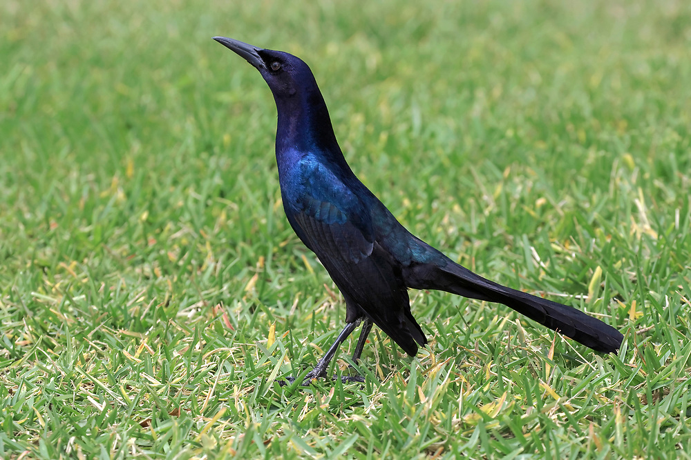 Boat-tailed Grackle - Quiscalus major