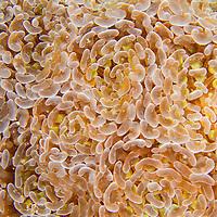 Alberto Carrera, Branching Hammer Coral, Euphyllia paraancora, Hammer Coral, Stony Coral, Branching Coral, Lembeh, North Sulawesi, Indonesia, Asia