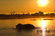 A hippopotamus (Hippopotamus amphibius) in silhouette walking through the water at sunrise, Botswana