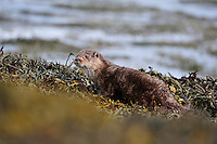 Juvenile Otter grooming on seashore after fishing / foraging,<br /> Lutra lutra,<br /> Isle of Mull, Scotland - April
