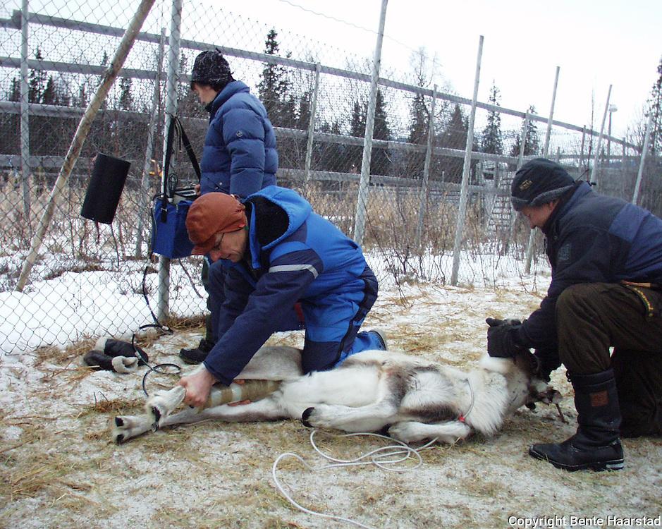 Eva Wilks, veterinær Per Storli,  bq-måling. Levendemåling på rein for å sjekke becquerel-nivå. Er det for høyt må dyrene nedfôres før slakting.