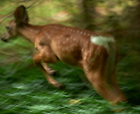 Running Fawn Moving and Out of Focus. Backyard Nature in my Backyard -- Summer in New Jersey. Image taken with a Nikon D700 and 28-300 mm lens (ISO 900, 300 mm, f/5.6, 1/60 sec). Raw image processed with Capture One Pro 6, Nik Define 2, and Photoshop CS5.