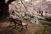 A man enjoys a late afternoon read in a bench among the cherry trees
