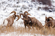 "Bighorn Ram threesome, ramming rams demonstrating ""Ram Tough"" in Jackson Hole Wyoming. About every other year we can find bighorn sheep fighting on the National Elk Refuge in Jackson Hole Wyoming."