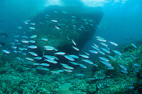 Schooling Fusiliers<br /> shot in Indonesia