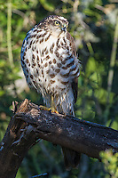 African goshawk perched in dense woodland, Addo Elephant National Park, Eastern Cape, South Africa