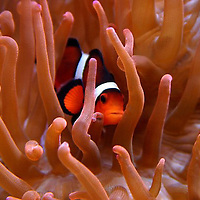 Clown fish and anemone,under water,fish,saltwater,sea