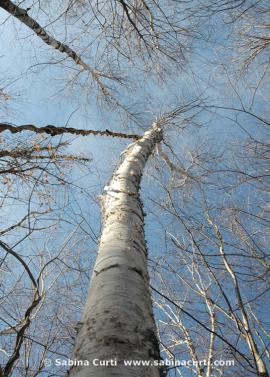 Birches and hanging vine at Jug End State Park