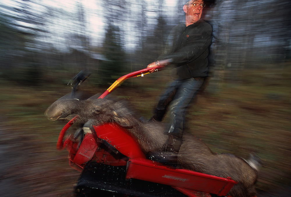 European Elk / Moose hunting, Sweden