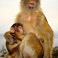 Mother Barbary Macaque Monkey Nursing Infant at Rock of Gibraltar, Gibraltar <br />