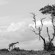 Murchison Falls National Park, Uganda, Africa